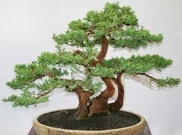 Algumas coisas que voc precisa saber sobre bonsai como cuidar de um bonsai cuidados - Como cuidar bonsais ...