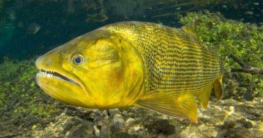 Pesca ao dourado, mais fácil do que você imagina