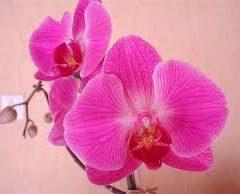 Dicas De Como Cuidar De Orquídeas – Fotos De Espécie Mais Conhecidas